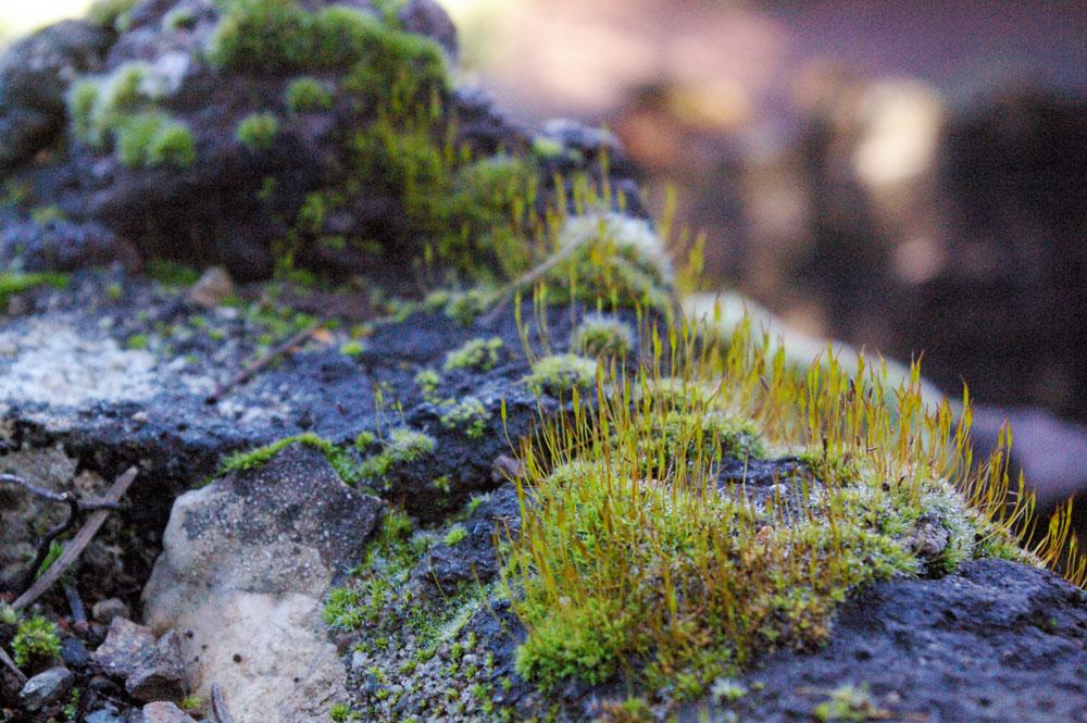 Moss Spores | Tilden Botanical Garden