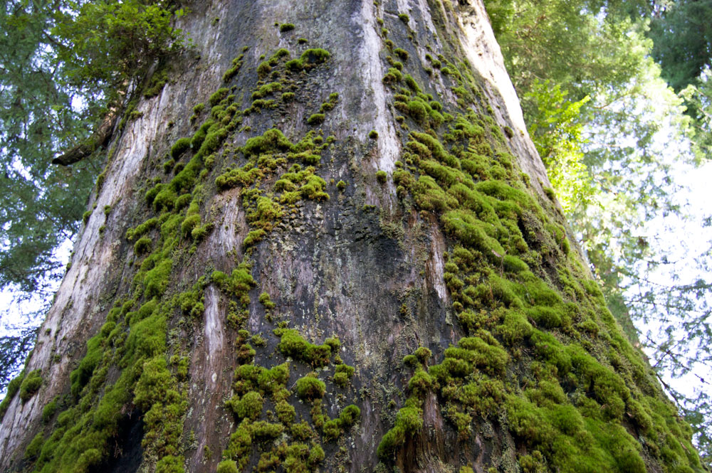 Moss Tree, Prairie Canyon Redwoods, SP.