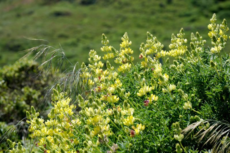 Yellow Lupine Point Reyes